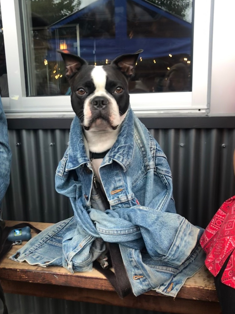 Fremont brewing company, boston terrier, adorable dogs